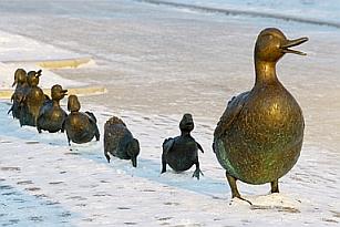 Eiderdown Duck