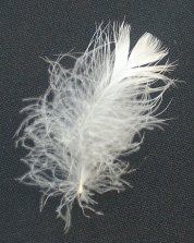 semiplume feather, down feather, pacific coast feather